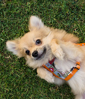 Pomeranian dog rolling over in clean grass yard because of Kurt's Doggy Dooty clean up services