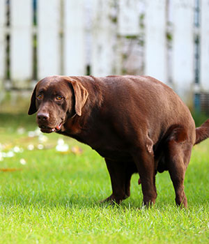 Brown lab dog pooping in yard - contact Kurt's Doggy Dooty to clean it up!